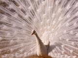عکس پرنده بسیار زیبا طاووس سفید