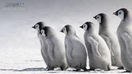 عکس بچه پنگوئن های امپراتور Emperor penguin kids