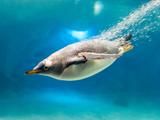 عکس شیرجه پنگوئن در آب