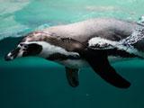 عکس پنگوئن در حال شنا زیر آب