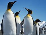عکس پنگوئن ها