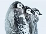 جوجه پنگوئن ها در طوفان قطبی