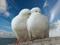 عکس دو کبوتر عاشق سفید