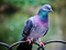 کبوتر پلاکی یا مسافتی