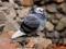 عکس کبوتر آبی ایرانی