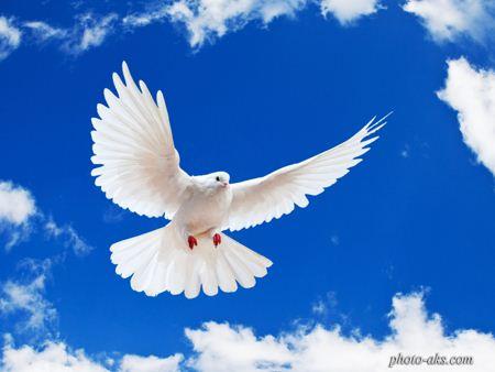 کبوتر سفید white dove