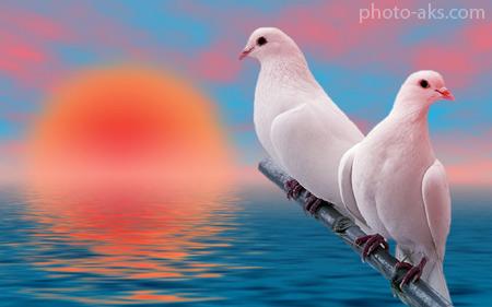 والپیپر دو کبوتر سفید کنار هم beautiful white birds