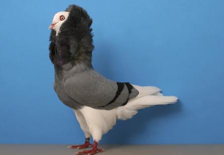 کبوتر هلندی یا کله شیری kabotar holandi