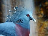 عکس کبوتر تاجدار ویکتوریا