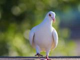 عکس راه رفتن کبوتر سفید