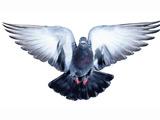 پرواز پرنده با بالهای باز