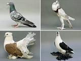 عکس انواع مختلف کبوتر