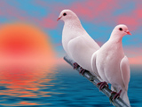 والپیپر دو کبوتر سفید کنار هم