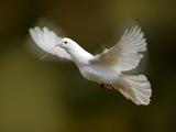عکس کبوتر سفید در حال پرواز