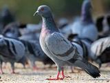 عکس کبوتر آبی حرم