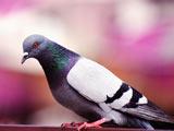 عکس کبوتر آبی زیبا