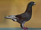 کبوتر هومر یا کله اسبی