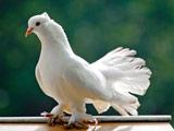 عکس کبوتر دم چتری سفید