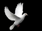 پرواز کبوتر سفید