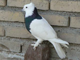 عکس کبوتر طوقی زیبا