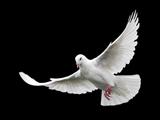 پرواز کبوتر سفید با زمینه سفید