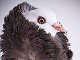 کبوتر کله شیری