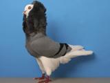 کبوتر هلندی یا کله شیری