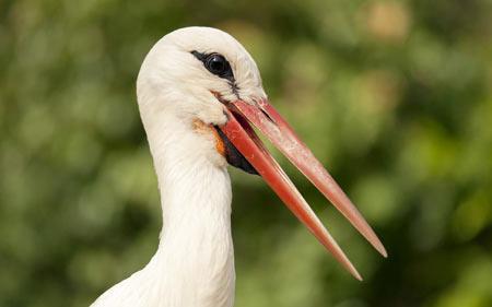 عکس سر لک لک سفید stork bird head