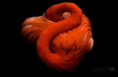فلامینگو نارنجی در حال خواب orange flamingo