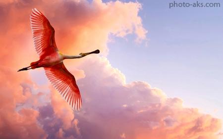پرواز پرنده فلامینگو صورتی pink flamingo fly in sky