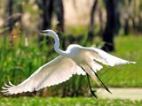 عکس پرواز پرنده حواصیل سفید