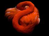 فلامینگو نارنجی در حال خواب