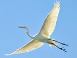 پرواز پرنده لک لک در آسمان