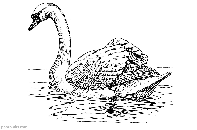 عکس نقاشی و طراحی شده از پرنده زیبای قو با مداد سیاه