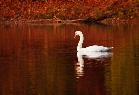 منظره پاییزی شنا قو lake nature swan