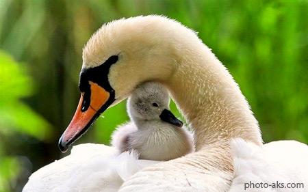 احساسات مادرانه در پرندگان aks madaraneh