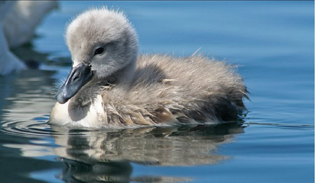 عکس جوجه قو روی آب swan baby swiming