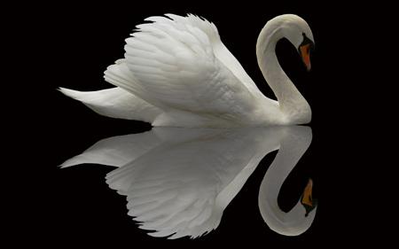 عکس پرنده قو سفید زیبا swan bird beautiful feather