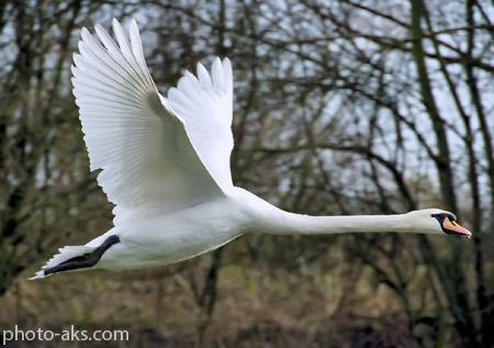 پرواز قو swan flying