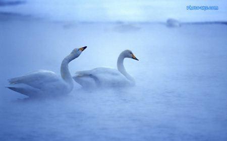 عکس رویایی قو ها dream swans