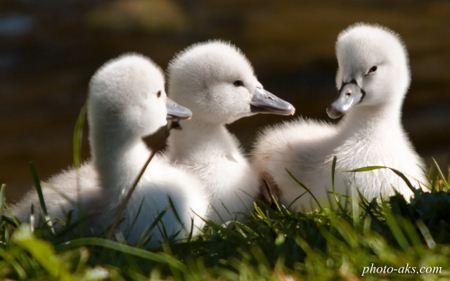 جوجه های خوشگل و ناز قو sweet swan white