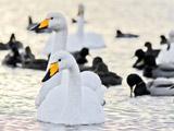 عکس زیبا شنا قو و اردک