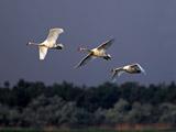 پرواز گروهی پرنده قو در آسمان
