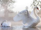پوستر زیبا از پرنده های قو سفید
