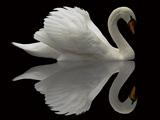عکس پرنده قو سفید زیبا