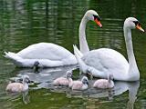 عکس خانوادگی پرنده قو