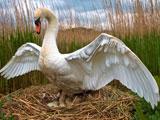 پرنده قو روی تخم در لانه