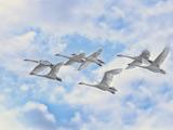 پرواز قو ها بر فراز آسمان