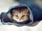 بچه گربه چشم آبی