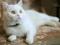 گربه سفید خوشگل